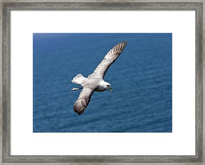 Fulmar In Flight Framed Print by Bob Gibbons