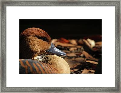 Fulvous Whistling Duck Framed Print by Karol Livote