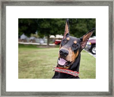 Fun Photo Of A Doberman Pinscher Framed Print