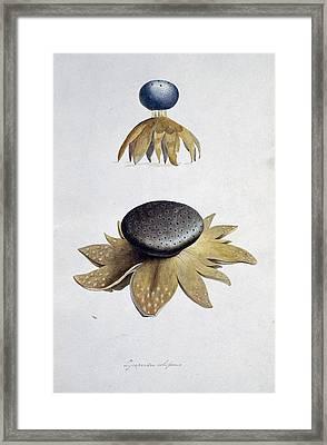 Fungus (lycoperdon Coliforme) Framed Print by Science Photo Library