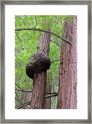Fungus On A Redwood Tree Framed Print