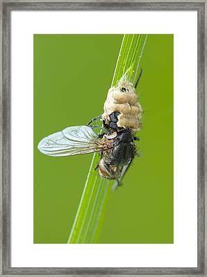 Fungus Parasitising A Fly Framed Print