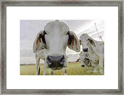 Funny Cows Framed Print by Cindy Bryant