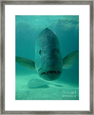 Funny Fish Face Framed Print by Amy Cicconi