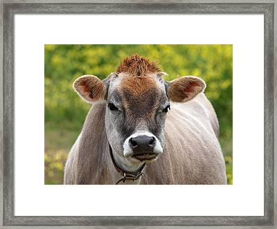 Funny Jersey Cow - Horizontal Framed Print by Gill Billington