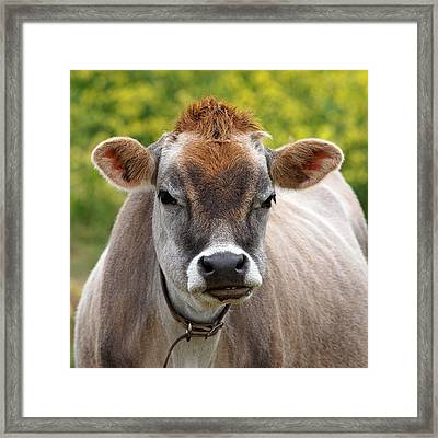Funny Jersey Cow -square Framed Print by Gill Billington