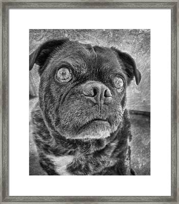 Funny Pug Framed Print by Larry Marshall