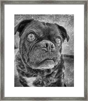 Funny Pug Framed Print