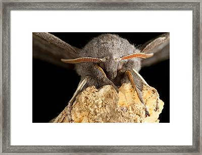 Furry Poplar Hawk Moth Macro Framed Print
