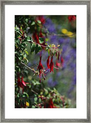 Fuschia Framed Print by Carol  Eliassen