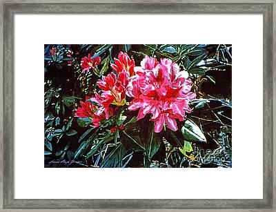 Fuschia Rhododendrons Framed Print by David Lloyd Glover