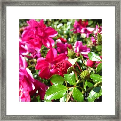 Fuschia Roses Framed Print