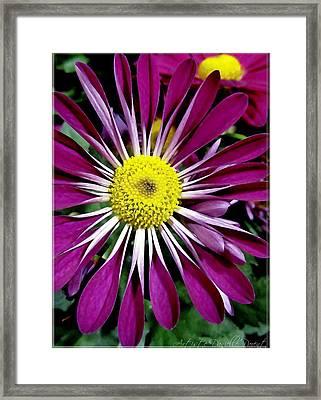 Fushia Daisies Blooming Framed Print by Danielle  Parent