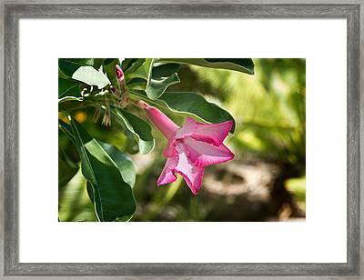 Fushia Oleander Near Phoenx Arizona 1 Framed Print by Douglas Barnett
