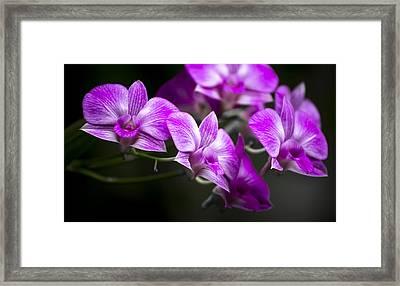 Fushia Orchid Framed Print by Penny Lisowski