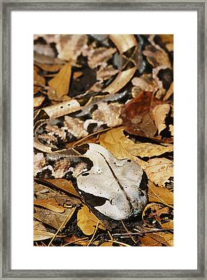 Gaboon Viper Framed Print by David Davis