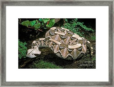 Gaboon Viper Framed Print by ER Degginger