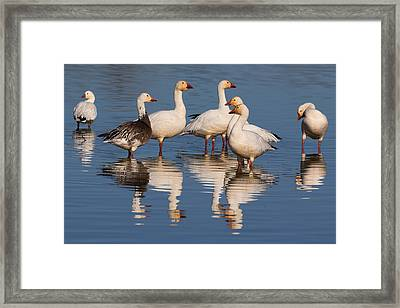 Gaggle Of Snow Geese Reflected Framed Print