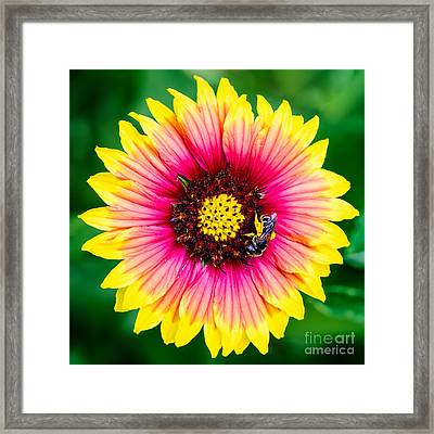 Gaillardia And A Bee Jacksonville Arboretum And Gardens Florida Framed Print by Dawna  Moore Photography