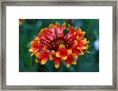 Framed Print featuring the photograph Gaillardia Flower by Keith Hawley