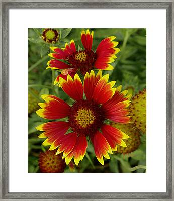 Framed Print featuring the photograph Gaillardia / Flowers by James C Thomas