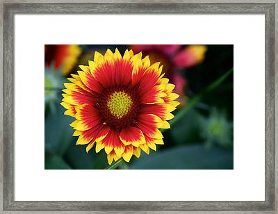 Framed Print featuring the photograph Gaillardia Grandiflora by Nature and Wildlife Photography