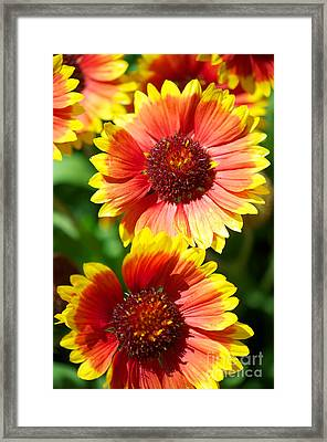 Framed Print featuring the photograph Gaillardia2x by Vinnie Oakes