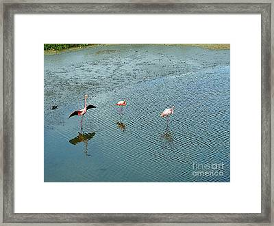 Galapagos Flamingoes Artwork Framed Print by Al Bourassa