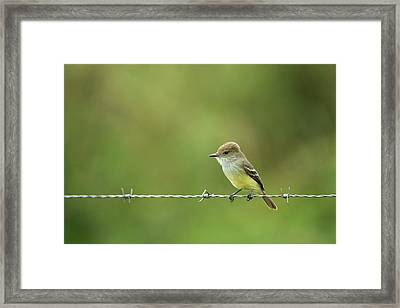 Galapagos Flycatcher (myiarchus Framed Print