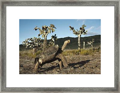 Galapagos Giant Tortoise And Opuntia Framed Print by Tui De Roy