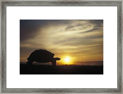 Galapagos Giant Tortoise At Sunrise Framed Print by Tui De Roy