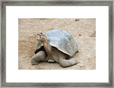 Galapagos Giant Tortoise Framed Print