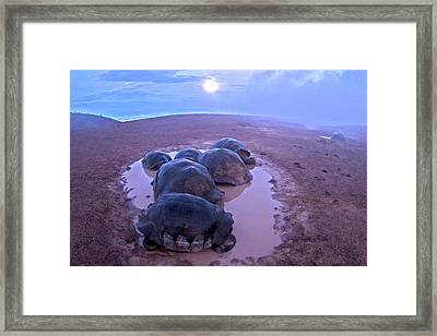 Galapagos Giant Tortoises On Volcano Rim Framed Print