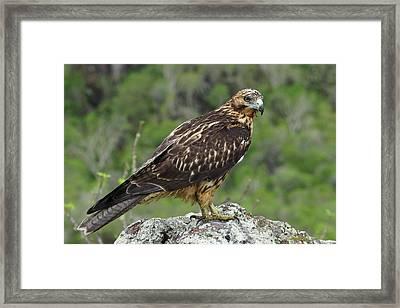 Galapagos Hawk Buteo Galapagoensis Framed Print by Photostock-israel/science Photo Library