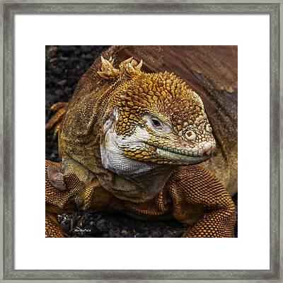 Galapagos Land Iguana  Framed Print