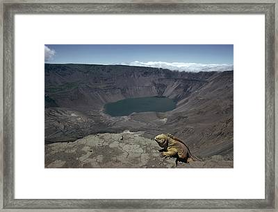 Galapagos Land Iguana Overlooking Framed Print by Tui De Roy