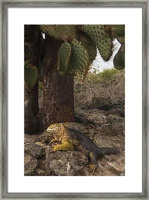 Galapagos Land Iguana South Plaza Framed Print