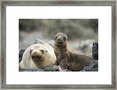 Galapagos Sea Lion And Pup Champion Framed Print by Tui De Roy