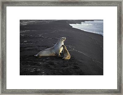 Galapagos Sea Lion And Pup Galapagos Framed Print by Tui De Roy