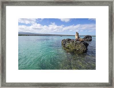 Galapagos Sea Lion Elizabeth Bay Framed Print by Tui De Roy
