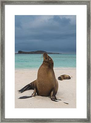 Galapagos Sea Lions Gardner Bay Framed Print by Pete Oxford
