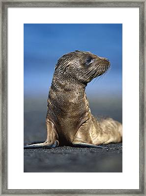 Galapagos Sea Lion Pup Awaiting Mothers Framed Print by Tui De Roy