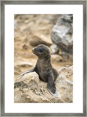 Galapagos Sea Lion Pup Champion Islet Framed Print