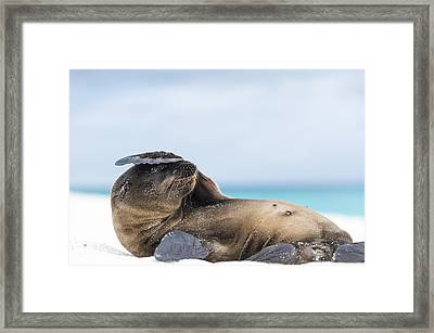 Galapagos Sea Lion Pup Covering Face Framed Print