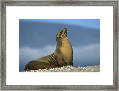 Galapagos Sea Lion Sunning Galapagos Framed Print by Tui De Roy