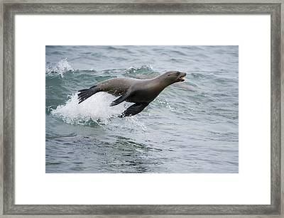 Galapagos Sea Lion Surfing  Mosquera Framed Print by Tui De Roy