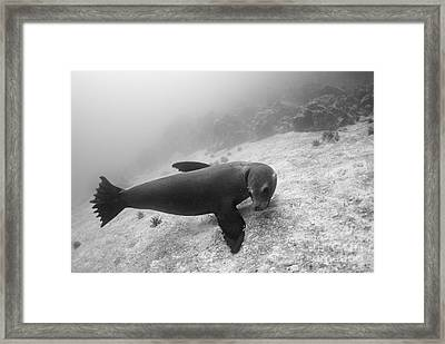 Galapagos Sea Lion Underwater Framed Print by Sami Sarkis