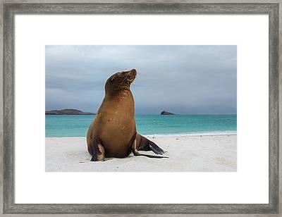 Galapagos Sea Lions (zalophus Wollebaeki Framed Print