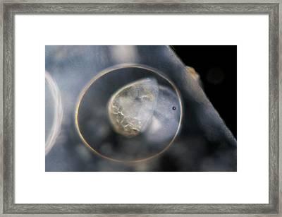 Galba Truncatula Embryo Framed Print by Sinclair Stammers