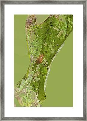Galerucella Beetle Framed Print